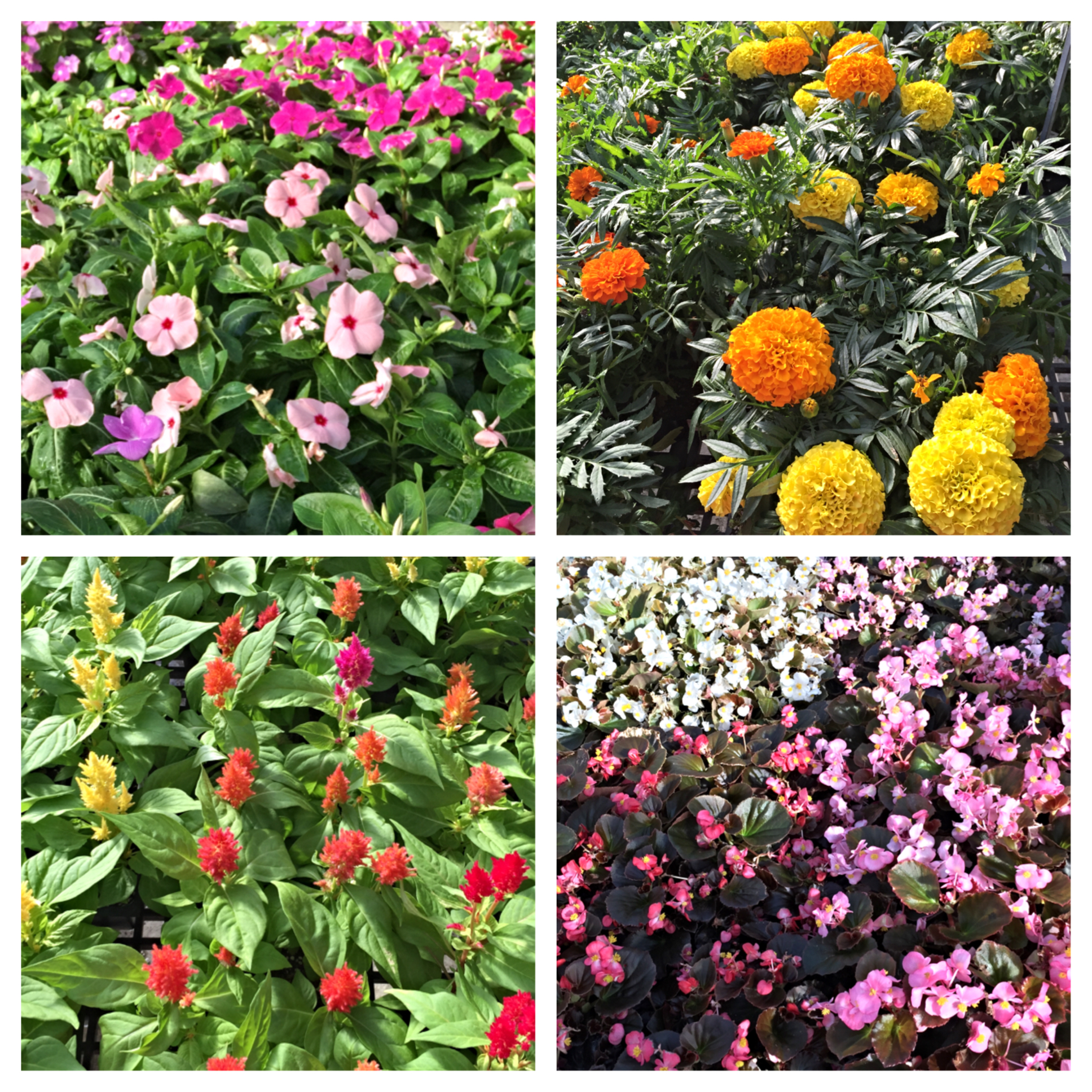 Seasonal Annuals Bay Area Landscape Nursery