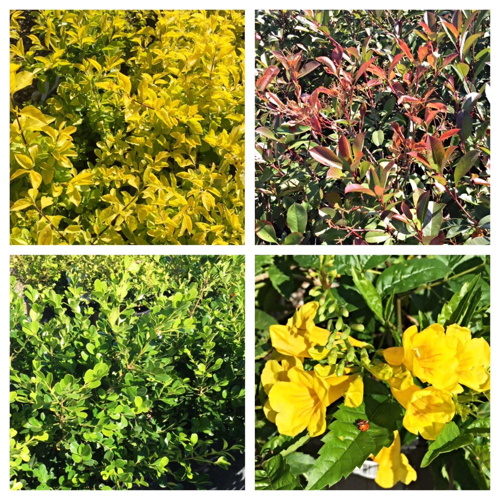 shrubs bay area landscape nursery