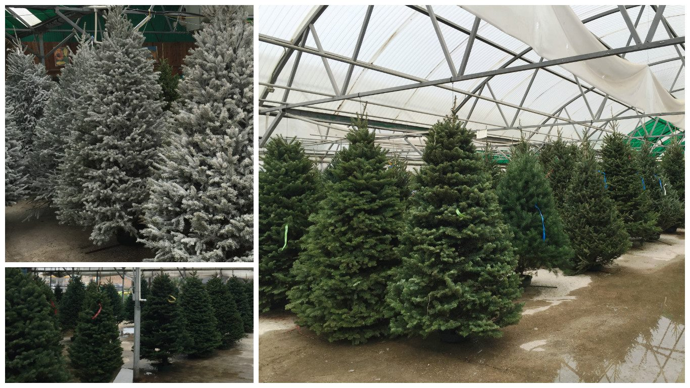 We Have The Perfect Fit For Your Home With Trees Ranging From 5 Up To 12 And Before You Leave Our Garden Center Will Give New Tree A Fresh Cut